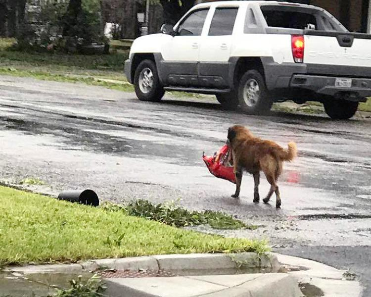 Dog Carrying Food Bag After Houston Flood