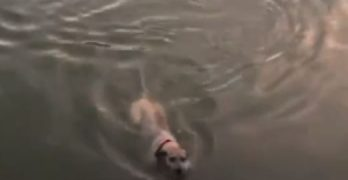 Watch Mesa Police Officer Rescue Sparky From A Canal