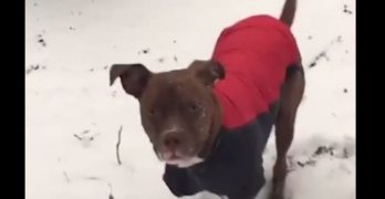 Pit Bull Zoomies: Random Bursts of Adorable Weirdness!