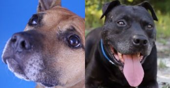 These Sweet Seniors Spent Their Lives Amid The Cruelty of a Dog Fighting Ring….