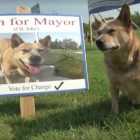 Finn For Mayor! Aussie Dog Looks To Lead Canadian City