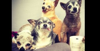 Senior Rescue Chihuahuas (with the Best Names Ever!) Are Living The Dream
