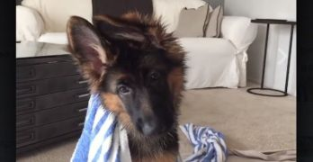 Love German Shepherds? This Compilation's For You!
