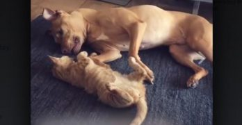 This Pit Bull Adopted A Kitten & Now They're BFFs