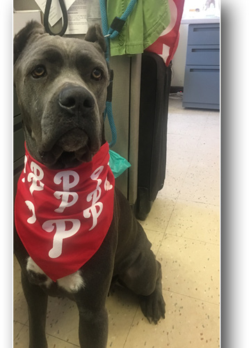 Cane Corso Catcher! Phillies' Cameron Rupp Adopts New Pup From The PSPCA