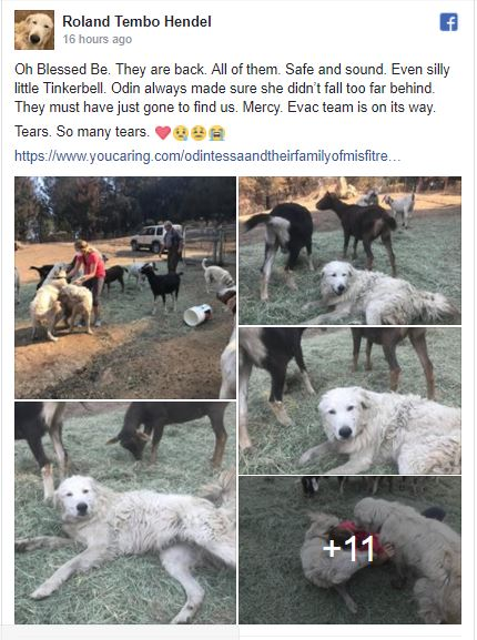 Hero Canine Protects Herd Via Tubbs Hearth in Sonoma