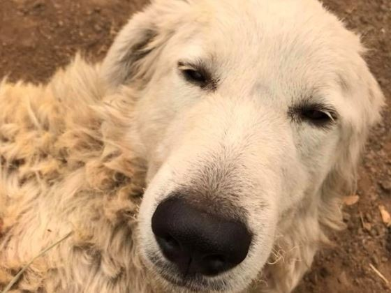 Hero Dog Protects Herd Through Tubbs Fire in Sonoma