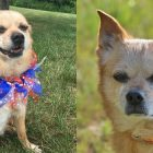 Adoptable Senior Skippy Wants To Be Your Lap Dog For Life!