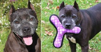 Smiling Suzie Q Needs You! Neglected Senior Pibble Wants A Family To Love