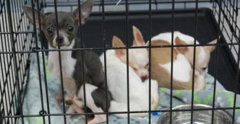 47 Dogs Rescued From Hoarding Situation in Illinois