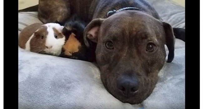 Two Pigs & A Pittie: Adorable Pibble Loves His Guinea Pig Sisters