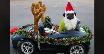 Doug The Pug Goes Out Cruisin' For Christmas