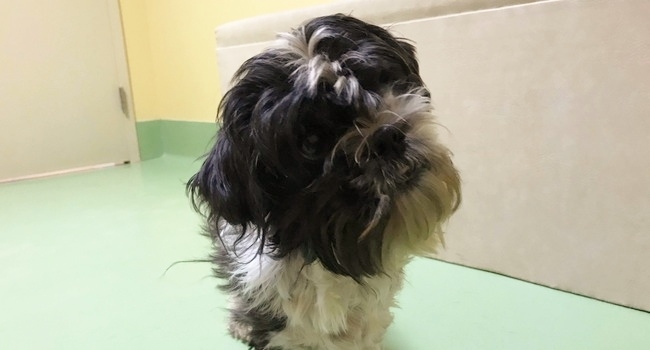 Shadow The Shih-Tzu Will Bright Light Into Your Life!