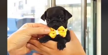 Tiny Pug In A Bow Tie Is The Stuff Your Most Adorable Dreams Are Made Of