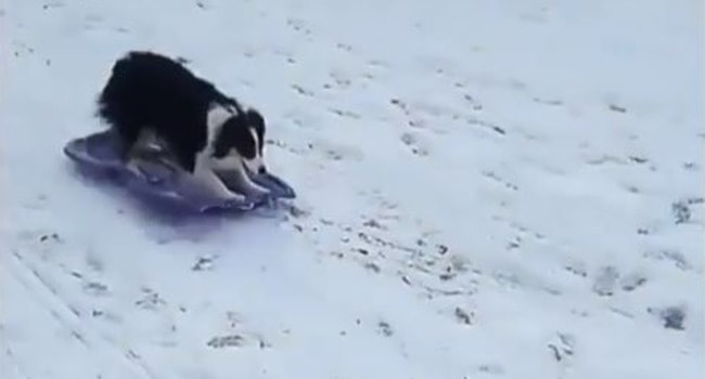 """Dog Sledding?"" This Cute Girl Shows Us How It's Done!"