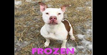 Ready For Heartwarming! Dog Found Frozen To The Ground Now Awaits Adoption