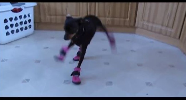 Boot Scoot! Doggies Don Footwear For The First Time