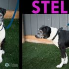 Adoptable! Sweet, Mellow Stella Is A Black-and-White Cookie of Love!