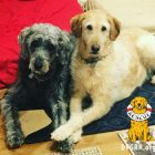 Adoptable Bonded Pair is a Double-Doodle Deal!