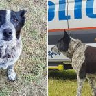 Hero Heeler! Missing Girl Kept Safe By Blind, Deaf Senior Dog