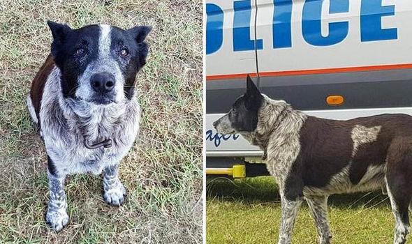 Hero Heeler! Missing Girl Kept Safe By Blind, Deaf Senior Dog