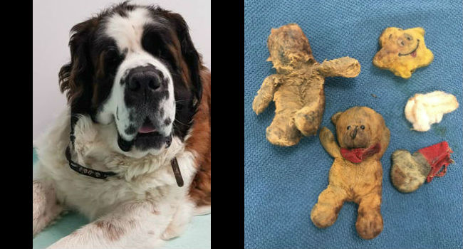 Dog's Cancer Turned Out To Be Teddy Bears