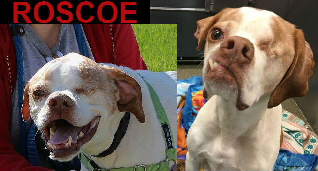 ADOPTABLE! Roscoe's face is so great, we stared at his picture instead of writing a headline.