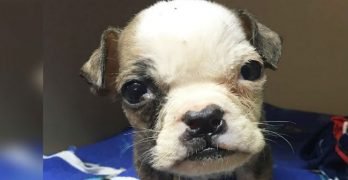 Mini but mighty! Tiniest rescue bulldog grows into a big bundle of boss lady