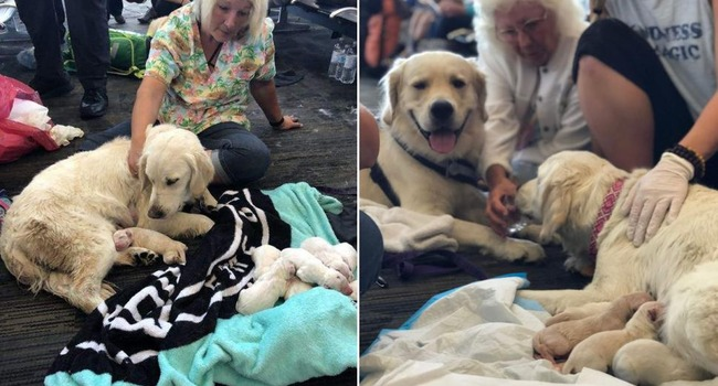 Eight is enough for service dog who welcomed litter of pups at Tampa International Airport
