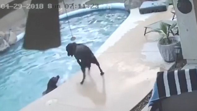 Hero dog rescues his best friend from drowning in amazing viral video