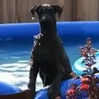 Busted! Watch what Baxter does when Dad catches him in the family pool.