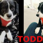 Todd went from a filthy hoarding situation to a friendly foster home. Now this little cuddler is looking for something more permanent.