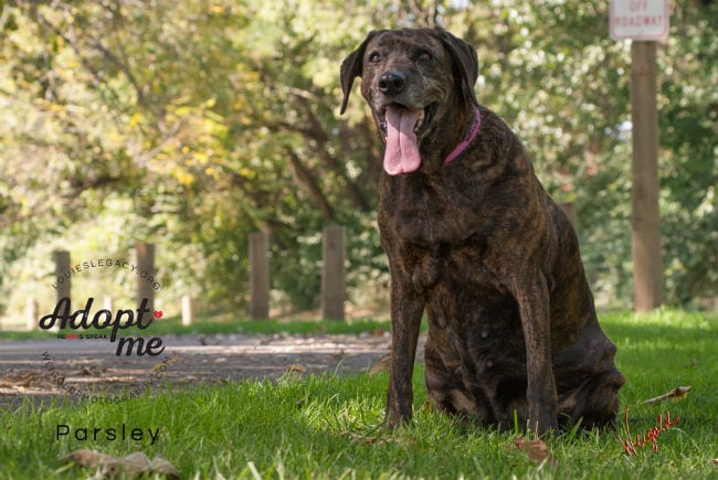 ADOPTABLE: Parsley is a big bundle of brindle with a beautiful smile!