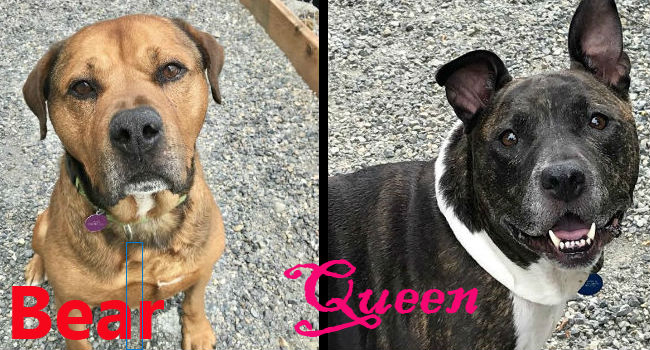 Adorable Adoptables: One's a mastiff. One's a monarch. Either could be yours.