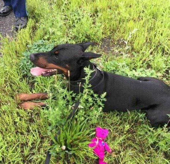 Dobie can't resist the wooby! Rogue pup saved from freeway by officer with the best software for the job