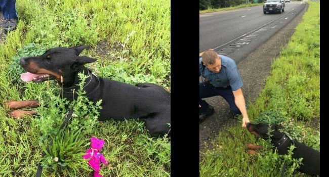 Dobie can't resist the wooby! Rogue pup saved from highway by officer with the right tool for the job