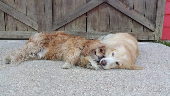 Blind canine has his personal seeing-eye canine!