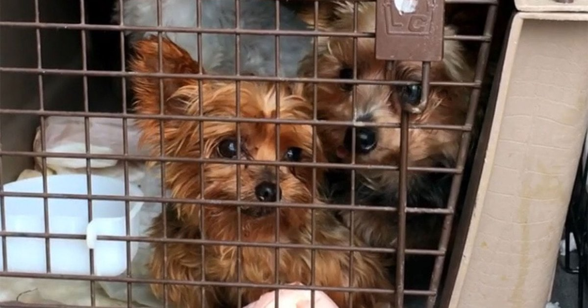 More than 100 dogs rescued from Midwestern puppy mills will get a second chance in Colorado.