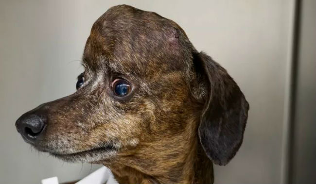 Amazing science! Dog with brain cancer got a new, 3D-printed, titanium skull