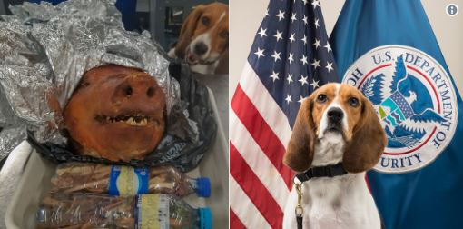 Pork it over! Homeland security dog intercepts roasted pig head in traveler's luggage