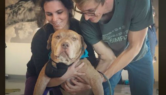 Senior pittie gets a second chance at puppyhood