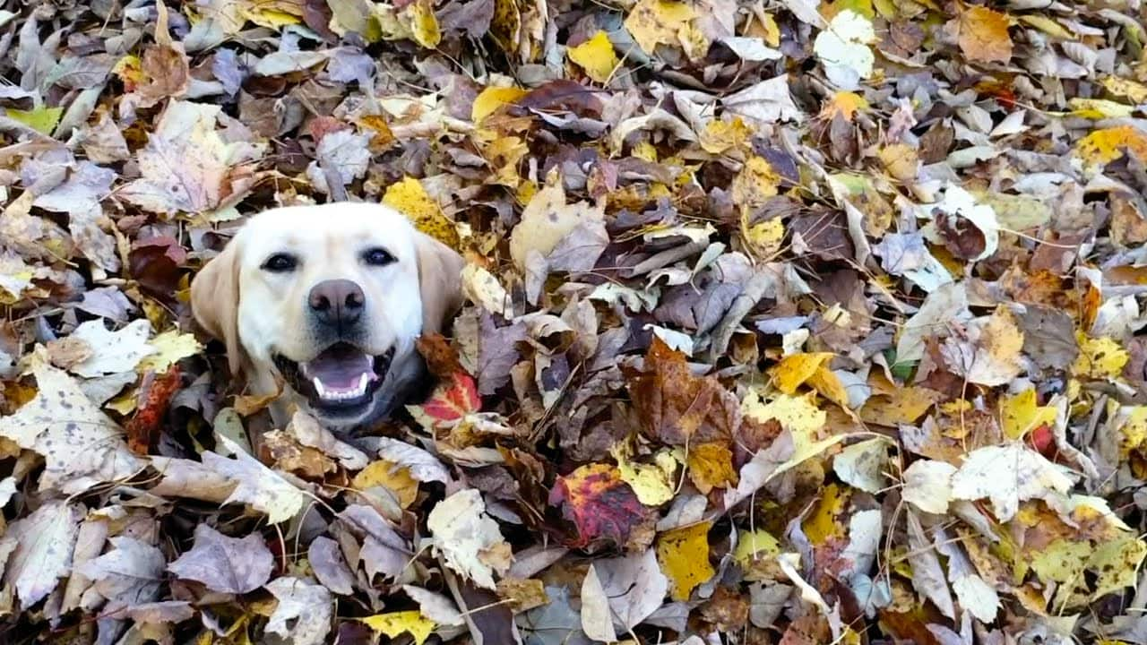 VIDEO: This hilarious, leaf-loving Lab is the antidote to Mondays.