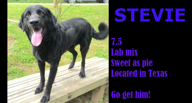 Lab lovers: look! Stevie's a big, beautiful boy with a heart and soul to match.