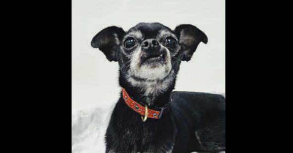 Chi-lovers, try Dolson! He's a dreamy, little man on the lookout for a perpetually household in Virginia.