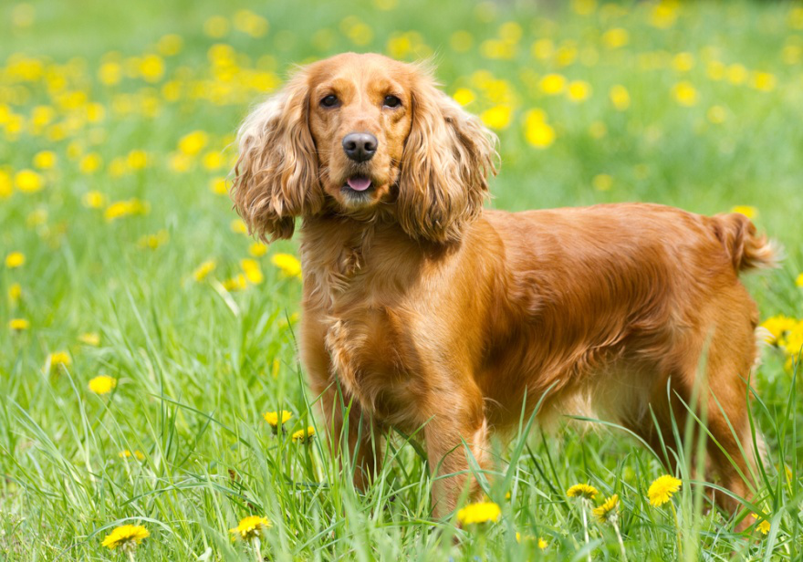 Dog Food for Cocker Spaniels