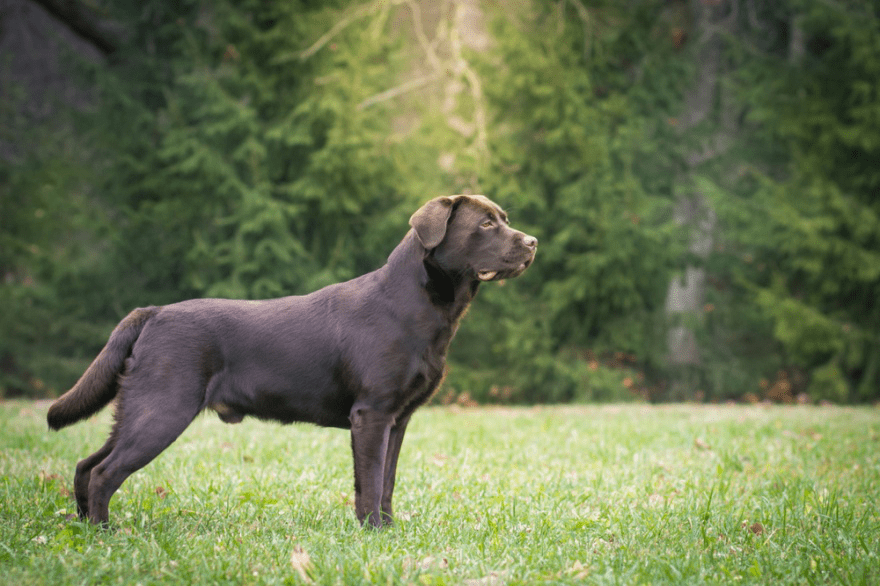 Top Dog Foods for Labrador Retrievers