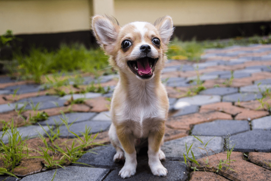 Top Dog Food Brands for Chihuahuas