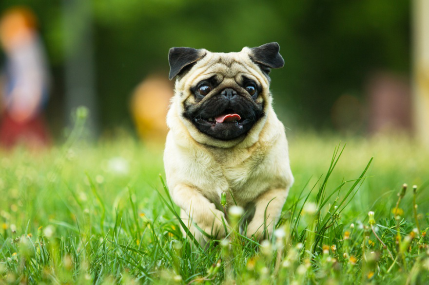 Top Dog Foods for Pugs
