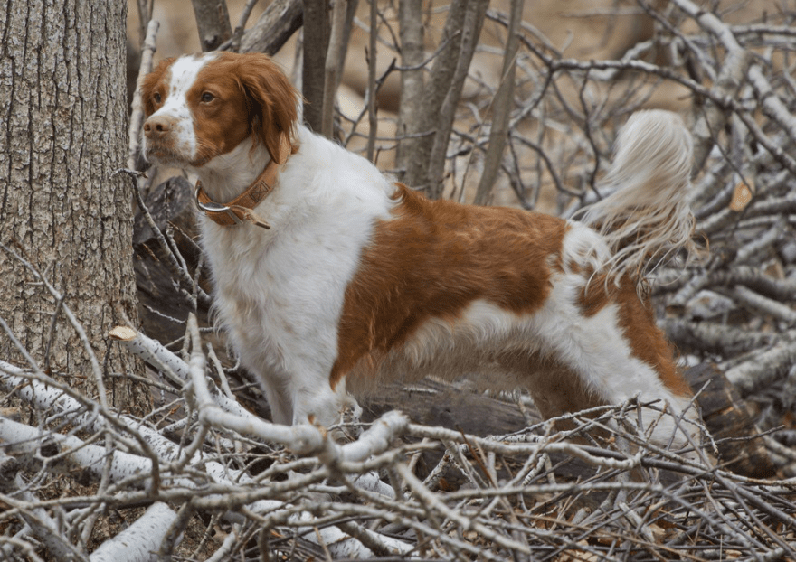 Dog Food for Brittany Spaniels