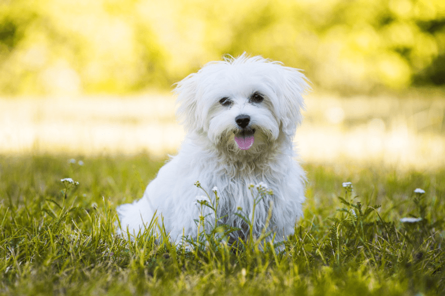Top Dog Food Brands for Maltese